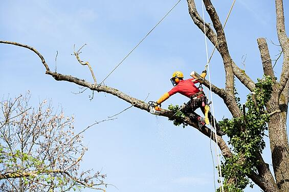 Arbortist cutting large branch