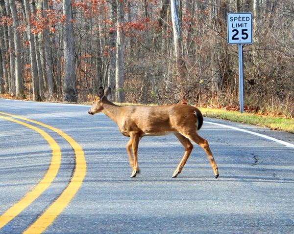 deer_crossing_road
