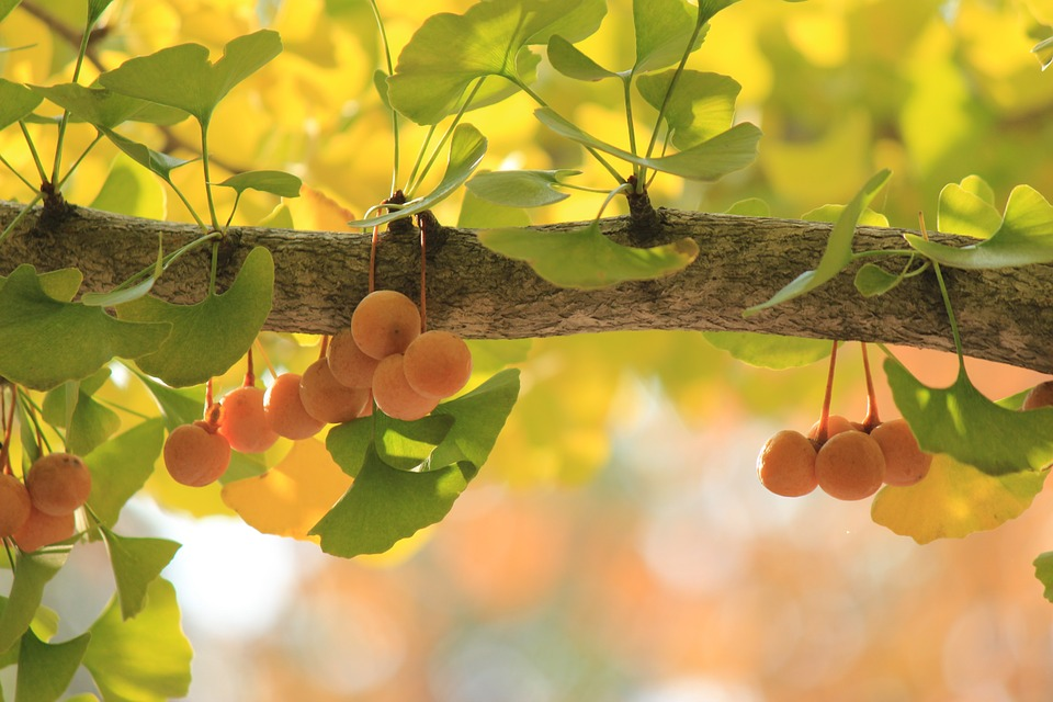 gingko-tree-610016_960_720